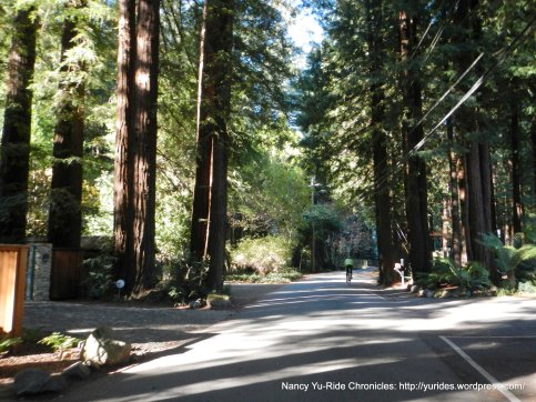 Cascade Dr-towering redwoods