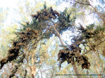 clusters of Monarch Butterflies
