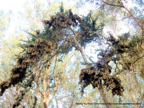 clusters of Monarch Butterflies