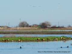 migratory ducks