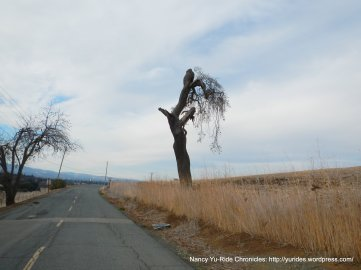 lone tree on North Gate Rd