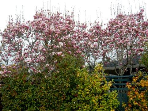 gorgeous magnolias