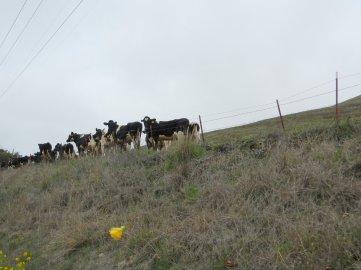 grazing jerseys