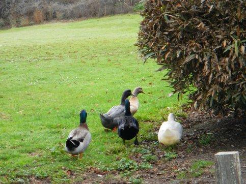 Cheese Factory ducks