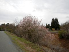 pink blossoms-Canal Trail