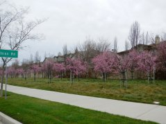 rows of cherry blossoms-Bollinger Canyon
