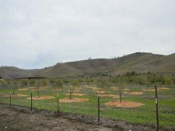 Camino Tassajara-olive groves