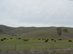 Camino Tassajara-grazing cattle