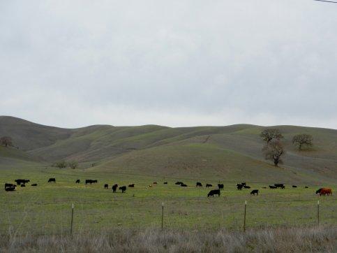 Camino Tassajara-grazing cattle