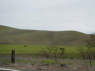 Highland Rd-grazing cattle