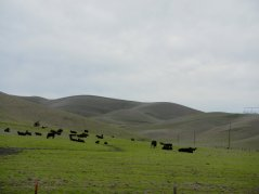 Manning Rd-grazing cattle