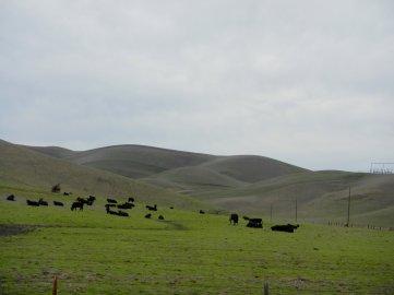Manning Rd-grazing cattle