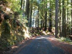 Fairfax Bolinas Rd-redwoods