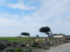 wind-blown cypress trees