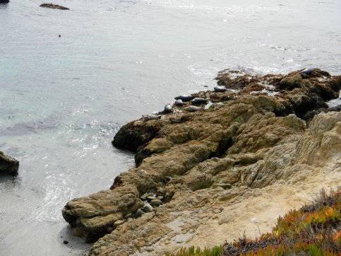 Cypress Point harbor seals