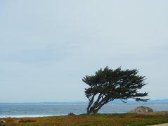 wind swept cypress