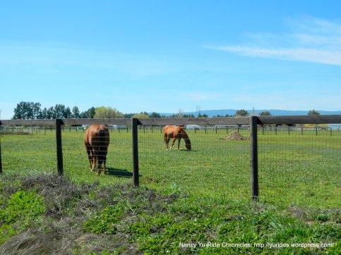 grazing cattle & horses