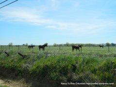 pastoral lands-grazing horses