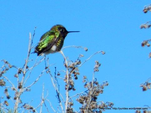 beautiful hummingbird-caught still