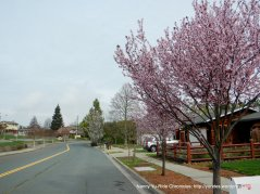 Cherry blossoms on Fig Tree Ln