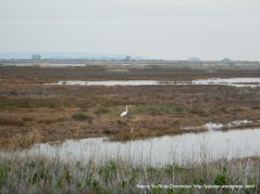 white herons-Goodyear Slough