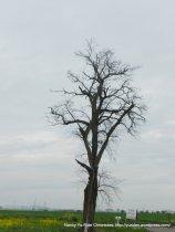 mighty lone tree