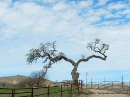 split oak
