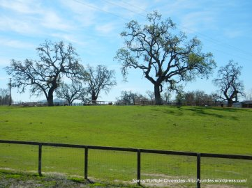 gorgeous oaks