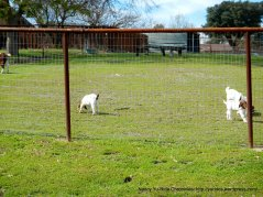 goat ranch-Atascadero