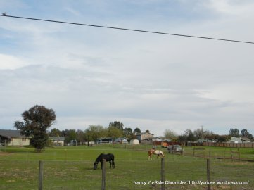 grazing horses