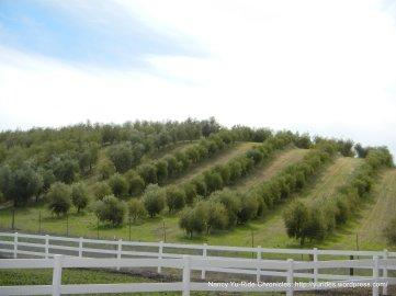 Pasolivo Olive Oil-olive groves