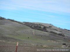 soft rolling hills-grazing cattle