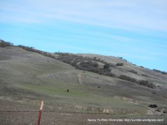 soft rolling hills-grazing cattle