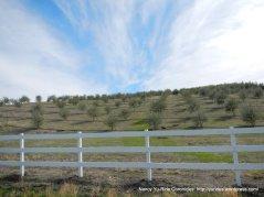 olivegroves