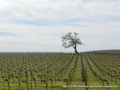 acreage vines