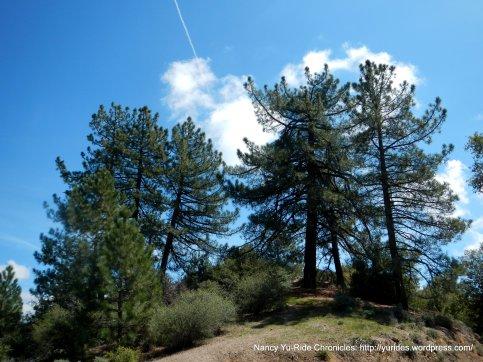 mixed pines