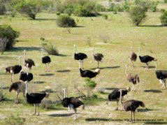 Ostriches at Ostrichland