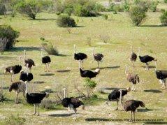 Ostriches at Ostrichland