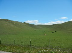 Alisos Canyon grazing cattle