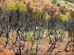 white blooms underneath burned manzanita
