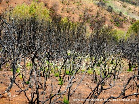 white blooms underneath burned manzanita