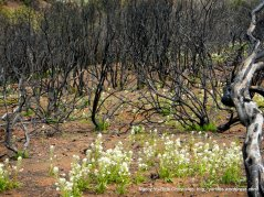 white blooms underneath burned manzanitas