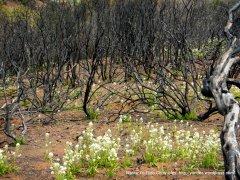 white blooms underneath burned manzanitas