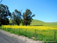 yellow meadows
