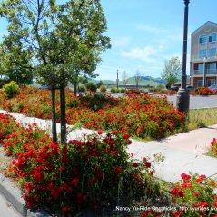 roses Suisun Valley Rd