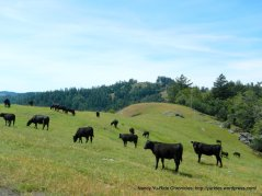 free roaming grazing cattle