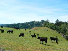 free roaming grazing cattle