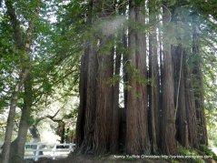 towering redwoods