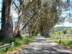 eucalyptus lined road