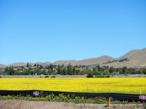 carpet of yellow mustards